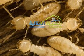 شركة مكافحة النمل الابيض بالبقيق